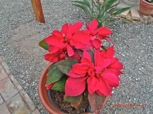 Poinsettias doing well